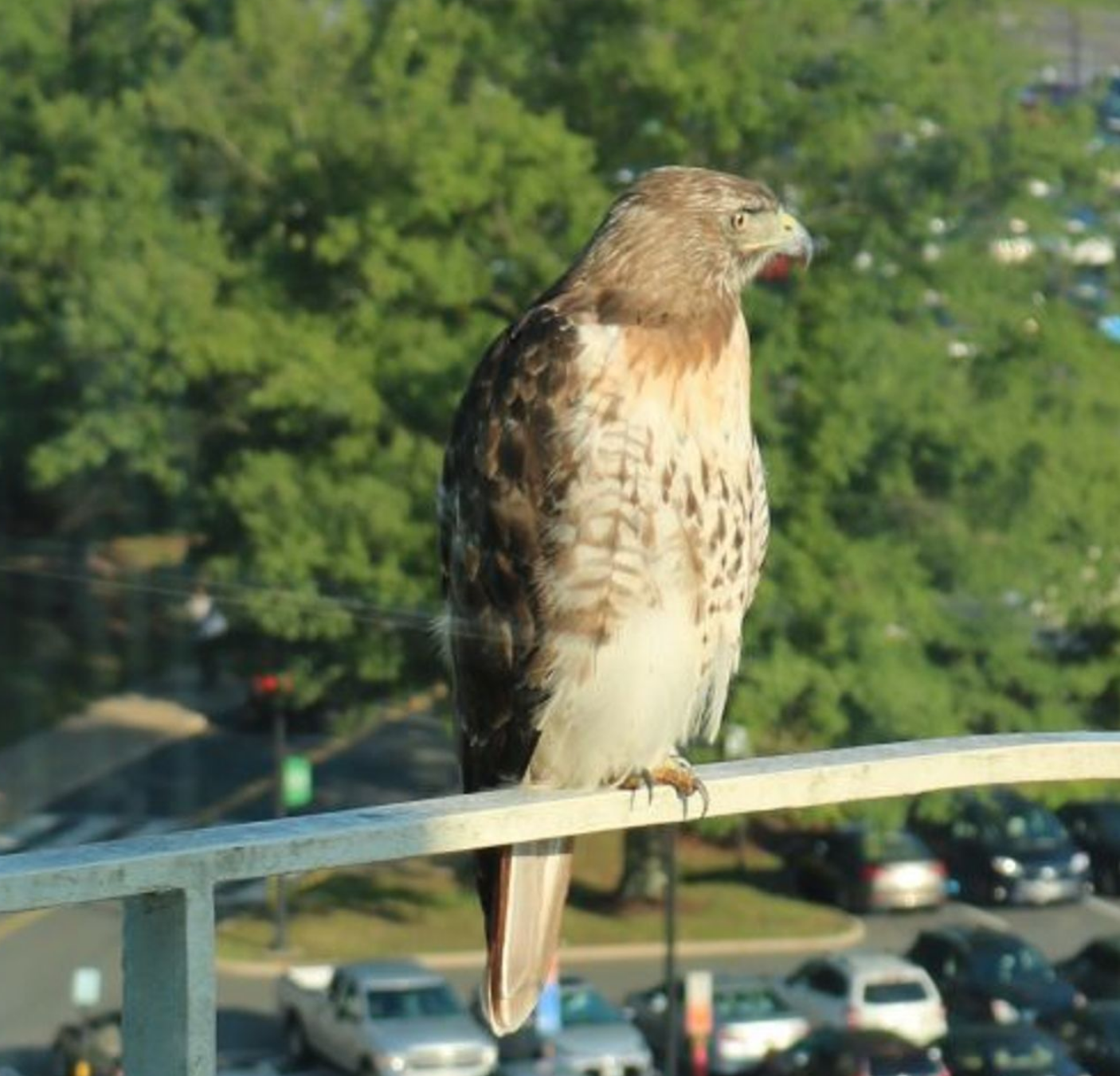 Is Hudson The Red-tailed Hawk Spying On The CIA?